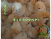 海兰褐蛋鸡苗