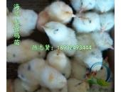 罗曼粉壳蛋鸡苗