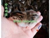 广东珍珠鸡苗